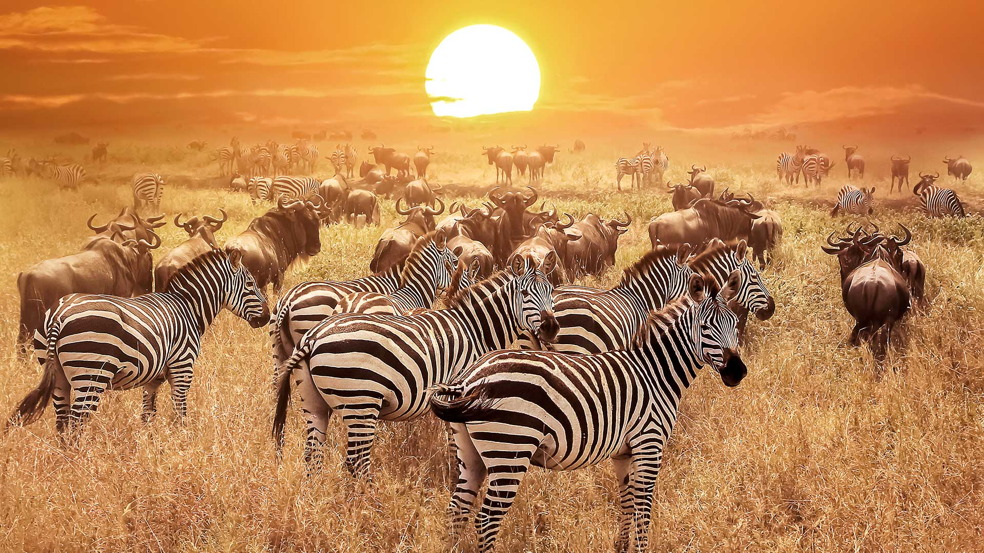 Zebras and wildebeest migrate TDS