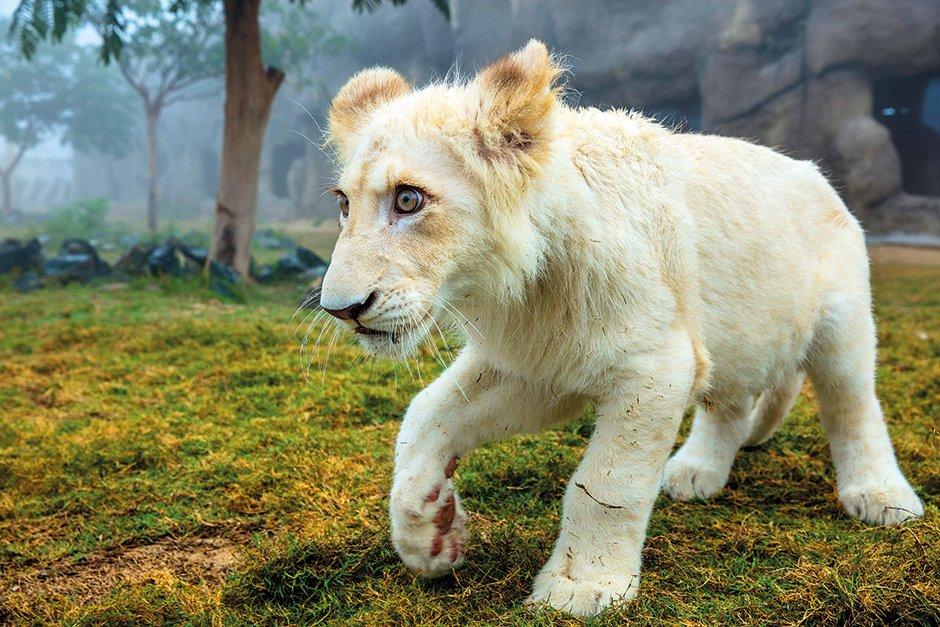 New Born Lion at Safari Park